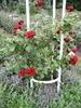 ורד מגן הורדים שעל גבעת פטרוז'ין