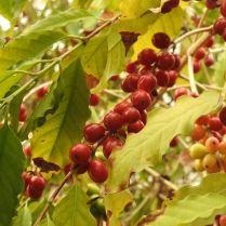 קפה ערביקה בגן הבוטני טרופי בבלם